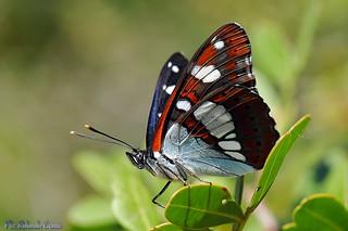 Farfalla _102 Limenitis reducta