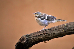 Baby Mockingbird (Monkeystyle3000) Tags: