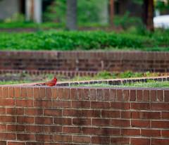 Cardinal (Membranophonist) Tags: bird cardinal