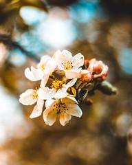 Apple tree blossom (holgerschmiel) Tags: tree apple blossom nature outdoor macro bokeh plant
