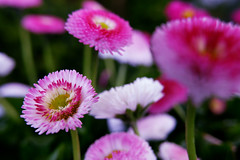 Tausendschön (nelesch14) Tags: amaranth flower daisy pink nature garden spring sunshine closeup colorful blur