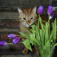Helpful Florist (KaTrina Blanks) Tags: cat pet animal pets feline nikon catnip cute gato otis ginger tiger ny attitude shootingblanks kitten tulip purple orange