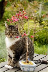 Bonsai-Azalee und Kater (sinepo) Tags: tisch kater sitzen garten schale bonsai azalee blüten blühen rosa