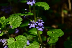 Lamiaceae flowers (the mint or deadnettle family). The flowers typically have petals fused into an upper lip and a lower lip (Labiatae) DSC_0913 (Me now0) Tags: софиябългарияевропа юженпарк никонд5300 китовобектив 1855mmf3556 afternoon пролет spring europe nikond5300 basiclens park дивоцвете wildflower