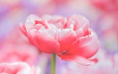 More Tulips! (paulapics2) Tags: fleur flora floral blümen nature garden outdoor hydehallgardens rhshydehallgardens soft pinks pastel tullip pretty closeup petals canoneos5dmarkiii sigma105mmf28exdgoshsmmacro feminine gentle depthoffield spring printemps frühling may