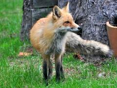 DSC_0229 (RachidH) Tags: fox renard vulpes foxcub renardeau redfox renardroux vulpesvulpes backyard frontyard wildlife sparta newjersey nj rachidh nature
