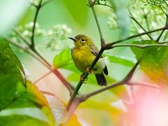 20170415-EM123945 (shutterblades) Tags: birds kranjimarshes olivebackedsunbird olympusem1mkii olympusmzuiko300mmf4pro