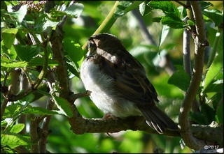 House Sparrow  .Chestnut streaky back, grey crown, and grey underparts with black bib.   Passer domesticus.