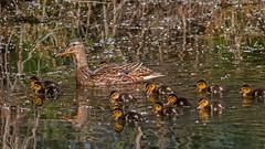 Mallard family except dad (keynowski) Tags: mallard anasplatyrhynchos yeşilbaş ngc nature animalplanet animal bird canon70d canonef400mmf56lusm