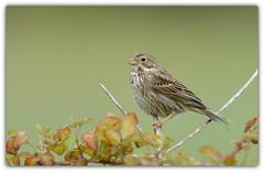 Bruant proyer (guiguid45) Tags: nature sauvage oiseaux bird passereaux loiret d810 nikon 500mmf4 bruant emberizacalandra bruantproyer affût