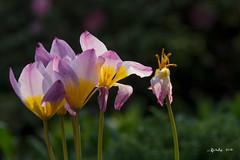 Blühen und Verblühen ... (Klaus Fritsche) Tags: gruga frühling blumen essen ruhrgebiet
