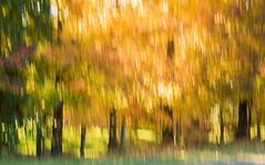 Autumnal-lines_DSC9251 (Mel Gray) Tags: wollombi autumn fall fallcolours autumnleaves autumncolours hunterregion huntervalley australia newsouthwales
