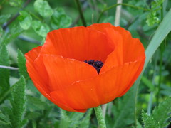 Oriental Poppy (AmyWoodward) Tags: orientalpoppy poppy fantasticflower