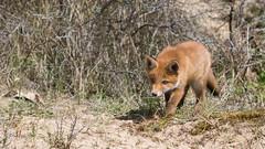 Today my first pup this year on Photo ... (Alex Verweij) Tags: fox pup puppy alex verweij canon 5d markiii wild nature natuur mm f28