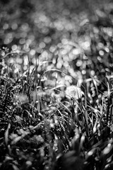 Outstanding (mripp) Tags: art kunst artful nature natur flower blume outside black white mono monochrom outstanding bokeh dreamy swirly leica m 10 sum micron 50mm summilux dream fantasy