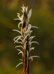 Sticky Sedge Stamen..x (Lisa@Lethen) Tags: pond sedge lesser flower stamen weed woods wild nature macro