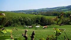 Horses In The Hills (Daphne-8) Tags: horses pferde hills hügel landscape landschaft spring frühling green grün herd herde