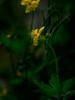Chelidonium majus (tuvidaloca) Tags: yellow studie chelidoniummajus blossom naturaleza greatercelandine primerplano nahaufnahme warzenkraut schöllkraut gilbkraut nature augenkraut desenfoqueparcial inflorescence green gelb flower closeup flor grün floración blutkraut natur tetterwort vistadecerca habitus bokeh estudio blütenstand infloreszenz dof inflorescencia blütezeit goldwurz heyday forest golondrina bokehextreme blüte bosque study apogeo amarillo wald desenfoque verde