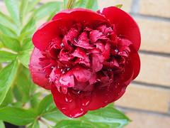 (Gsc63) Tags: macro olympusepl7 waterdrops outdoor plant tree foliage leaf flower waterdroplet