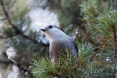 Hail the grey jay (bichane) Tags: greyjay camprobber whiskeyjack canadajay bird grey jay
