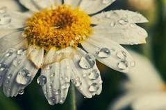 Into the Woods (koolandgang) Tags: intothewoods macromondays macro flower daisy drops dropbydrop nikon105vrmicro nikonsb900 member'schoiceintothewoods