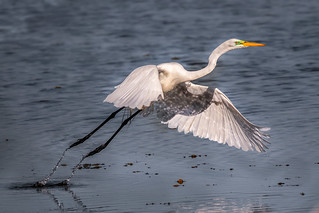 Take-off with a splah (great egret)