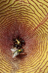 Stapelia flower and a fly.  Huntington Botanical Gardens, Pasadena, California, USA. (cbrozek21) Tags: stapelia stapeliaflower fly stapeliaflowerwithafly carrionflower huntingtonbotanicalgardens nature pattern flower 7dwf