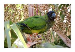 Tenerife (dreams of the earth) Tags: tenerife outdoor birds perruche conure vert green liberté oiseaux sauvages las americas los cristianos chayofa arona adeje iles canaries