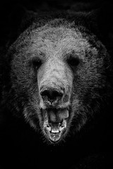 Meeting In A Dark Place (Alfred Grupstra) Tags: lowkey annapaulowna noordholland nederland nl bear animal brownbear wildlife mammal carnivore animalsinthewild nature large blackcolor animalhead oneanimal animalteeth danger nopeople closeup forest zoo fur