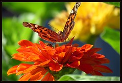 IMG_1752 Frontal Assault 9-15-16 (arkansas traveler) Tags: butterfly paintedlady paintedladybutterfly bichos bugs insects flowers zinnias zoom telephoto nature naturewatcher natureartphotography bokeh bokehlicious