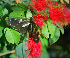 Key West (Florida) Trip 2016 0198Ri 5x6 (edgarandron - Busy!) Tags: florida keys floridakeys keywest butterflyhouse keywestbutterflyandnatureconservatory butterfly butterflies insect insects