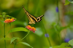 Madame Butterfly. (Daantje1704) Tags: swallowtail butterfly page vlinder amazonica blijdorp rotterdam nikon lantana zoo diergaarde insect animal papilion
