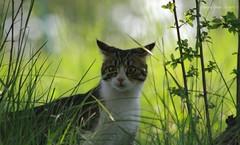 In Hunting - In explore 05/05/17 (- Crupi Giorgio (official)) Tags: italy cuneo montezemolo cat nature green meadow canon canoneos7d canon70300mm