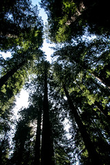 Redwoods, Hendy Woods State Park, Mendocino (Sharon Mollerus) Tags: california hendywoodsstatepark mendocino places ferns forest grove redwoods trees xss philo unitedstates us