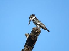 Bontvisvanger / Pied Kingfisher (Bruwer Burger.) Tags: bontvisvanger pied kingfisher coth5