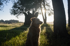 Kibou amb olivera de 1200 anys (xgrager) Tags: millenary holidays spring olivetree landscape tree pet costabrava kibou dog sky sun grass pines palamós walk