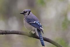 Very noisy Blue jay (gmorient1@aol.com) Tags: birds centralpark newyork springmigration