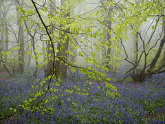 Greens and Blues (Damian_Ward) Tags: damianwardphotography ©damianward damianward bluebells hyacinthoidesnonscripta beech commonbluebell trees chilterns chilternhills thechilterns fog mist