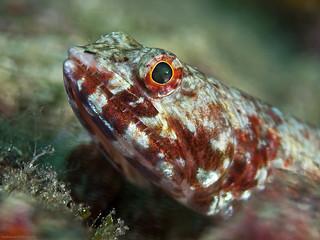 Red marbled Lizardfish, Eidechsenfisch (Synodus rubromarmoratus)