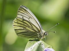 Green-veined White Butterfly (sivaD nhoJ) Tags: greenveinedwhite pierisnapi pieridae lepidoptera butterfly insect invertebrate arthropod animal wildlife macro nature 2017