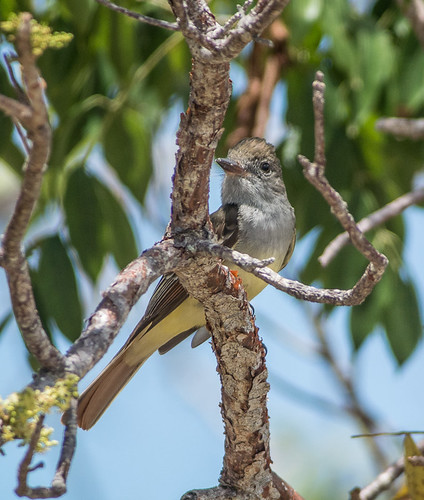 Great Crested Flycatcher -1520
