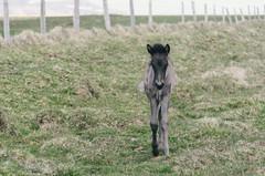 (wenzday01) Tags: travel iceland icelandichorse horse animal nature nikon d7000 nikond7000 nikkor 18200mmf3556gafsedvrii