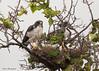 White-tailed Hawks on nest