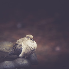 Morning love.., (jm atkinson) Tags: bird d700 150600 maine light male morning dove lovebirds 7dwf