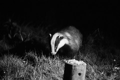 Badger @ Rutland (Bob G2007) Tags: animals badger europe leicestershire places rutlandwater unitedkingdom england