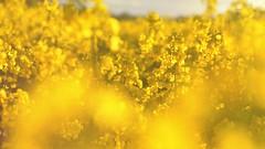 When the sun goes down (Aadilos) Tags: field yellow flowers nikon d5200 sigma 1450mmsigma bloemen veld geel sun zon looking trough