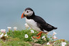 Puffin (Shane Jones) Tags: puffin seabird bird nature wildlife nikon d500 200400vr tc14eii skomer