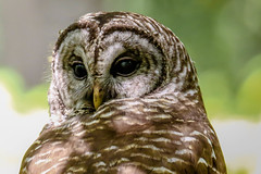 Barred Owl (backyardzoo) Tags: barred beidler beidlerforest bird owl