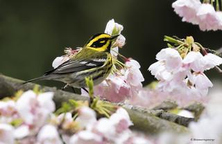 Townsend's Warbler   Paruline de Townsend