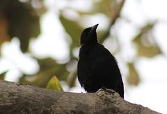 (JennaF.) Tags: animal fauna pajaros arboles nublado universidad antonio ruiz de montoya uarm blackbird jardin horacio lima perú ramas arbol